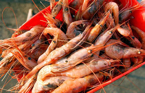 Maine-Shrimp300---Bangor-Daily-News